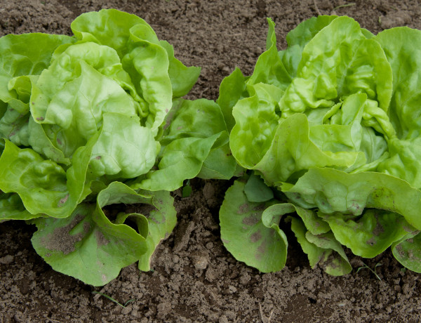Lettuce Feature
